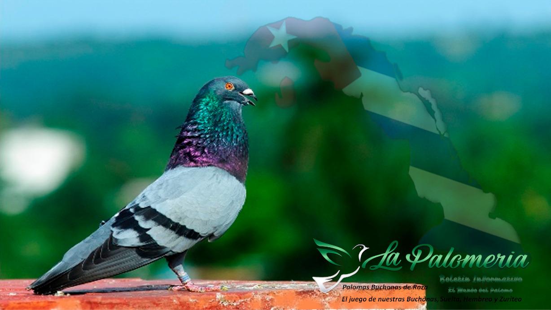 lapalomeria-palomas-españolas-en-cuba2