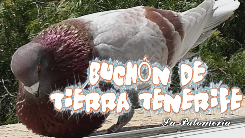lapalomeria-buchon-tenerife