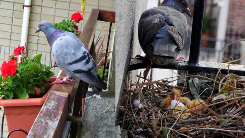 lapalomeria-nido-balcon
