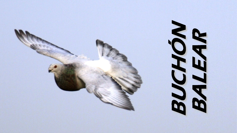lapalomeria-buchon-balear-conceptos